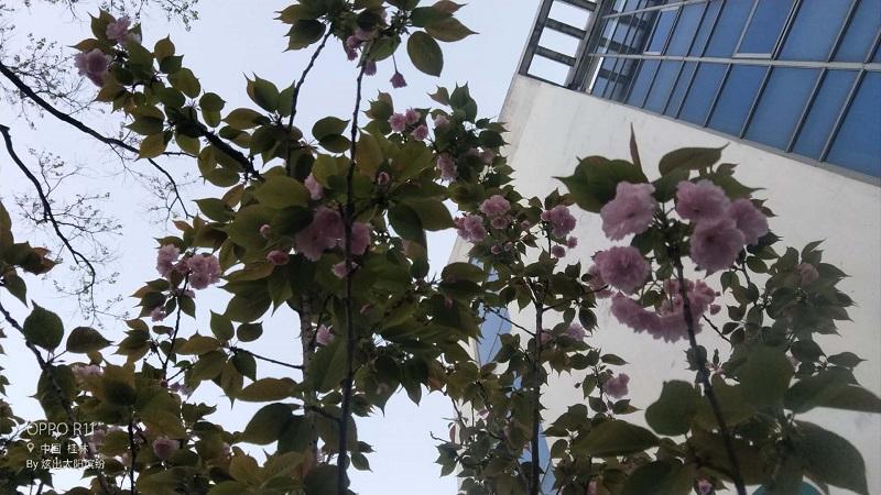 云赏花:兴安中学樱花开了